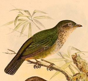 Hylocitrea - Image: Hylocitrea bonensis bonensis 1898