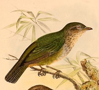 <i>Hylocitrea</i> species of bird