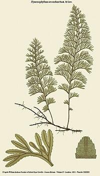 Hymenophyllum secundum.jpg