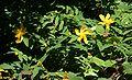 Hypericum calycinum 3.jpg