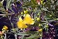 Hypericum kalmianum Gemo 5zz.jpg