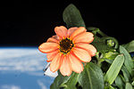 ISS-46 Zinnia flower in the Cupola (1).jpg