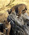 Iberian Lynx cubs 3.jpg
