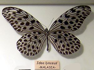 Idea lynceus