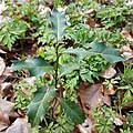 Ilex aquifolium 108511993.jpg