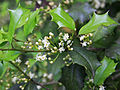 Ilex opaca American holly flowers 4x3.jpg