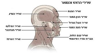 Illu head neck muscle.heb.JPG