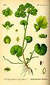 Illustration Chrysosplenium alternifolium0.jpg