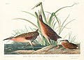 Illustration from Birds of America (1827) by John James Audubon, digitally enhanced by rawpixel-com 205.jpg