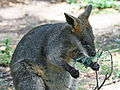 Image-Swamp-Wallaby-Feeding-4,-Vic,-Jan.2008.jpg