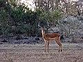 Impala (37345112206).jpg