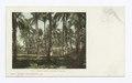 In a Puerto Rican Coconut Grove, Puerto Rico (NYPL b12647398-62631).tiff