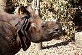 IndianRhino RhinocerosUnicornis2.jpg