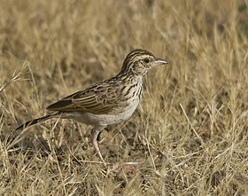Indian Bushlark at Rajkot.jpg
