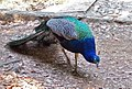 Indian Peafowl-2.jpg