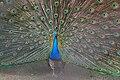 Indian Peafowl (Pavo cristatus) W IMG 8551.jpg
