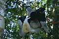 Indris (Indri indri) female with young (9641298189).jpg