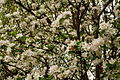 Inside-apple-tree-flowers - West Virginia - ForestWander.jpg