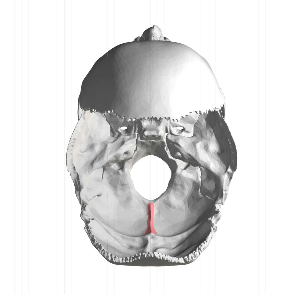 File:Internal occipital crest - superior view.png ...