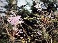 Ionopsis utricularioides - in citrus tree.jpg