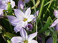 Ipheion uniflorum2.jpg