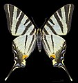 Iphiclides podalirius MHNT CUT 2013 3 9 Male Dos Cahors.jpg