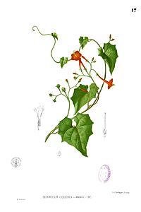 Ipomoea coccinea Blanco1.17