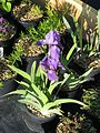 Iris aphylla - Flickr - peganum.jpg