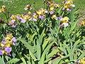 Iris ger roz St-Nico (71).jpg