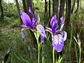 Iris sibirica sl25.jpg