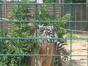 Isle of Wight Zoo - lemurer.jpg