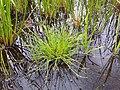 Isolepis setacea sl1.jpg