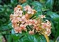 Ixora coccinea 'Yellow Ixora Maui' - McKee Botanical Garden - Vero Beach, Florida - DSC03132.jpg