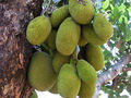 Jack fruit, the national fruit of Bangladesh.jpg