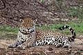 Jaguar (Panthera onca palustris) male Rio Negro.JPG