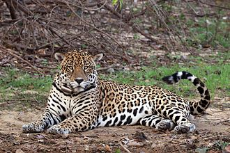South American jaguar - Image: Jaguar (Panthera onca palustris) male Rio Negro