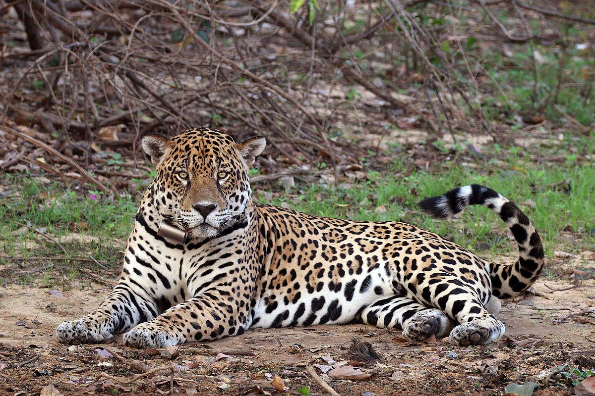 south american jaguar wikipedia. Black Bedroom Furniture Sets. Home Design Ideas