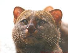 Jaguarundi Wikipedia