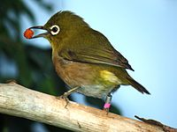 Japanese White Eye 058.jpg