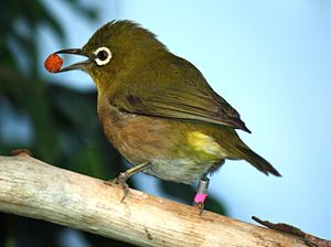 1847 in birding and ornithology -  The Japanese white-eye was described by Hermann Schlegel and Coenraad Jacob Temminck in 1847