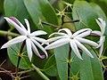 Jasminum nitidum-flores.jpg