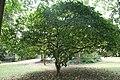 Jatropha Pandurifolia - 04.jpg