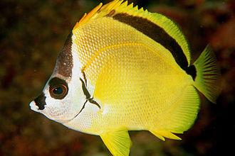 Butterflyfish - Image: Johnrandallia nigrirostris