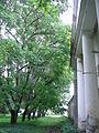 Juglans mandshurica trees.JPG