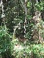 Jungle - panoramio (1).jpg
