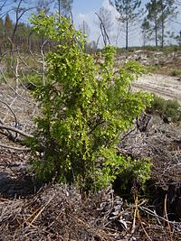 Juniperus Navicularis | RM.