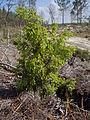 Juniperus navicularis.JPG