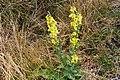 Kandelaberkungsljus (Verbascum pulverulentum)-2944 - Flickr - Ragnhild & Neil Crawford.jpg