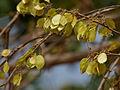 Kanju (Holoptelea integrifolia) in Hyderabad, AP W IMG 4664.jpg
