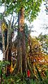 Kapokier (fromager) au jardin du père Gillet à Kisantu.jpg